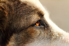 Close-up on romanian shepherd head Royalty Free Stock Photos