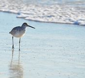 An American short bill dowitcher sandpiper bird hunting along seafoam covered sand. stock image