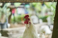 Close up rooster crowing, Real White Farming Poultry Chicken. Beautiful natural Stock Photos