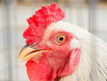 Close up of rooster head in a cage Stock Image