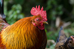 Close up of a rooster Royalty Free Stock Photography
