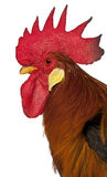 Close up of Rooster Leghorn Stock Photos