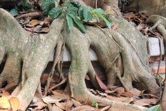 Close up root of Banyan tree Stock Photography