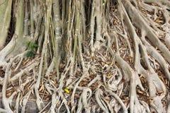 Close up root of Banyan tree Royalty Free Stock Image