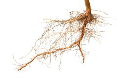 Close up of roots tree. On white background Royalty Free Stock Images