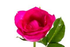 Close-up Rosa Imagem de Stock