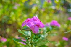 Close up Rosa glauca flowers in beautiful nature. Background stock photos