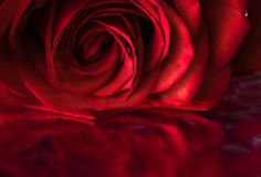 Close up rose Royalty Free Stock Image