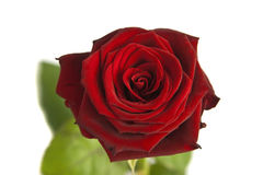 Close-up Rose Royalty Free Stock Images