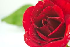 Close up rose. Close up of beautiful rose for valentine Royalty Free Stock Photography