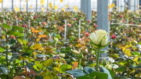 Greenhouse with rose flowers. Close-up of a rose on a blurred floral background in a greenhouse stock photography
