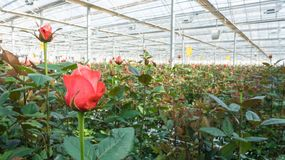 Greenhouse with rose flowers. Close-up of a rose on a blurred floral background in a greenhouse stock photo