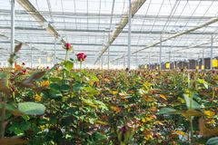 Greenhouse with rose flowers. Close-up of a rose on a blurred floral background in a greenhouse royalty free stock image