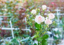 Greenhouse with rose flowers. Close-up of a rose on a blurred floral background in a greenhouse stock images