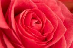 Close-up of a rose Royalty Free Stock Photos