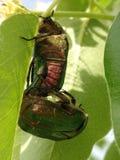 Rose chafer Cetonia aurata beetle mating Stock Images