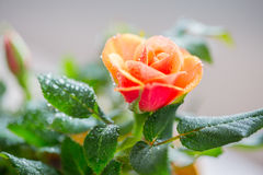 Close up of rose flower Royalty Free Stock Photos