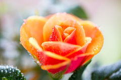 Close up of rose flower Stock Images
