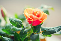 Close up of rose flower Stock Image