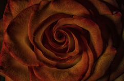 Close up of Rose flower. Macro shot highlight the pattern and textures of Rose Petals Royalty Free Stock Images