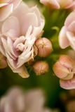 Close up of rose flowers bunch Royalty Free Stock Image
