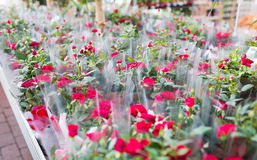Close up of rose flowers in gardening shop. Plants, sale, farming and botany concept - close up of rose flower seedlings in gardening shop Stock Image