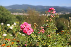 Close-up of rose in front of the city of Gaggenau, Baden-Wurttemberg, Germany.  stock photography