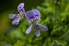 Close up of rose geranium or pelargonium flower in garden Royalty Free Stock Images