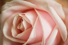Close-up of a rose. A macro close-up of a pink rose in bloom Royalty Free Stock Images