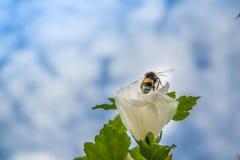 Close up of a rose mallow. And a bumbkle bee Stock Photos