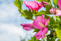 Close up of a rose mallow. And a bumbkle bee Stock Image