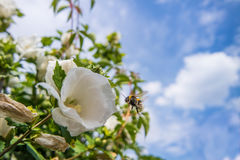 Close up of a rose mallow. And a bumbkle bee Royalty Free Stock Images