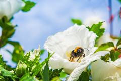 Close up of a rose mallow. And a bumbkle bee Stock Photography