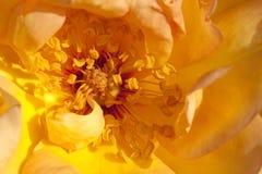 Close up of rose petals Royalty Free Stock Photos