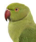 Close up of a Rose-ringed Parakeet Stock Images