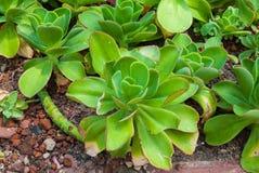 Close up a Rose Shaped Echeveria Agavoides/planta de Pulidonis, suculento e árida fotos de stock royalty free