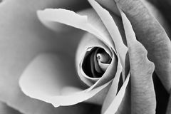 A close up of rose with texture Royalty Free Stock Image