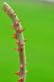 Close up rose tree thorn Royalty Free Stock Image