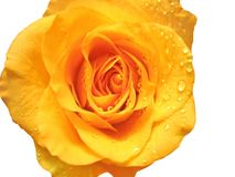 Close-up of rose with water drops Stock Photography