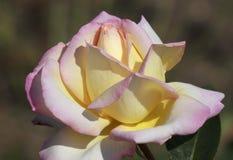 Close up of rose Stock Photos