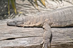 Rosenberg`s monitor lizard. This is a close up of a rosenberg`s monitor lizard stock photo
