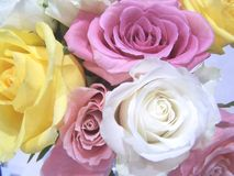 Close-up of roses. Close-up photo of pink, white and yellow roses stock photos