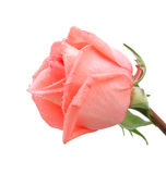Close up of roses with water drops, isolated Stock Image