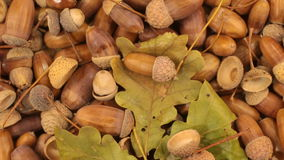 Close-up. Rotation of oak acorns with green leaves. View from above stock video footage