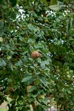 Close up of rotten apple with mildew on tree in orchard royalty free stock photos