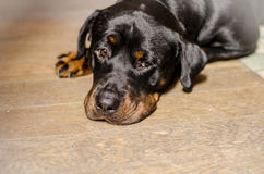 Close up of rottweiler, resting Stock Photo