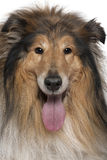 Close-up of Rough collie with tongue out Royalty Free Stock Photography