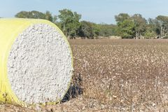 Close-up cotton bales on harvested field in Texas, USA. Close-up round bale of harvested fluffy cotton wrapped in yellow plastic. Captured cat cotton field in stock photos