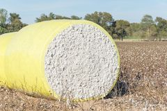 Close-up cotton bales on harvested field in Texas, USA. Close-up round bale of harvested fluffy cotton wrapped in yellow plastic. Captured cat cotton field in royalty free stock photography