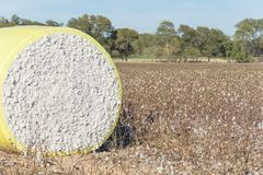 Close-up cotton bales on harvested field in Texas, USA. Close-up round bale of harvested fluffy cotton wrapped in yellow plastic. Captured cat cotton field in stock images
